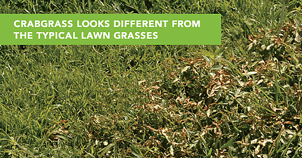 negelcted lawn with crabgrass